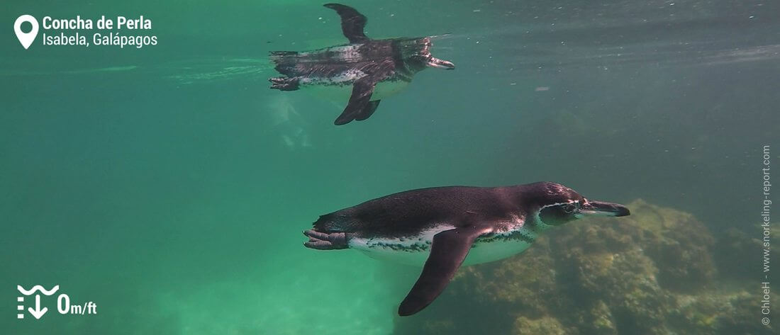 Manchots des Galapagos à Concha de Perla, Galapagos
