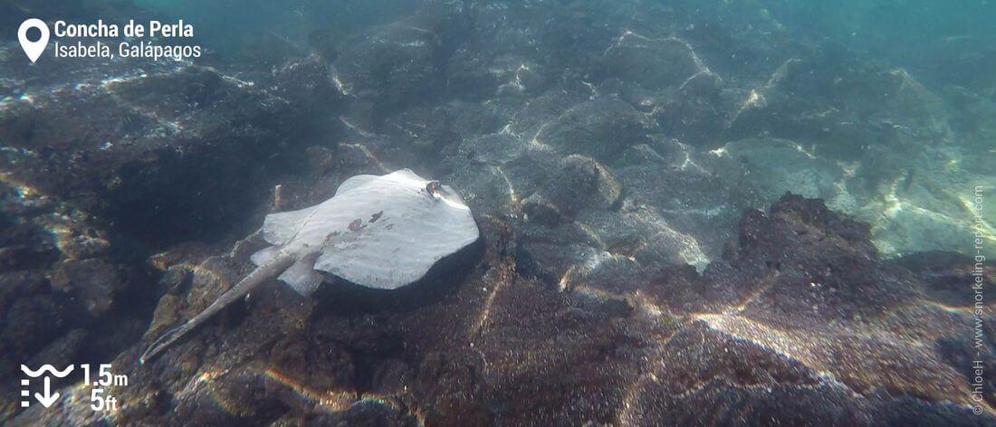 Raie pastenague à Concha de Perla, Galapagos