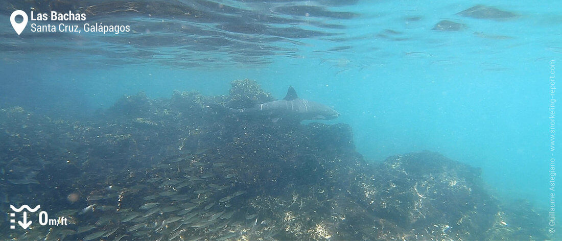 Requin à Las Bachas, Galapagos