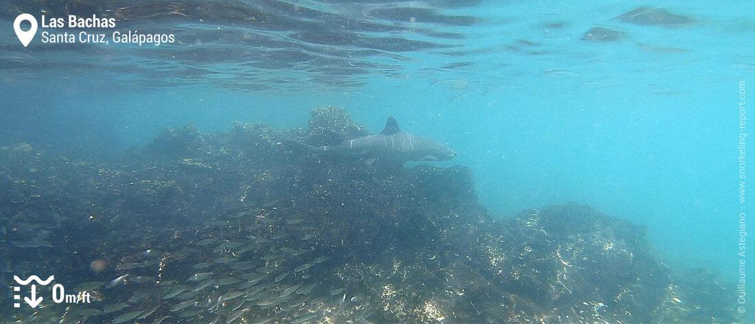 Shark snorkeling in Las Bachas, Galapagos