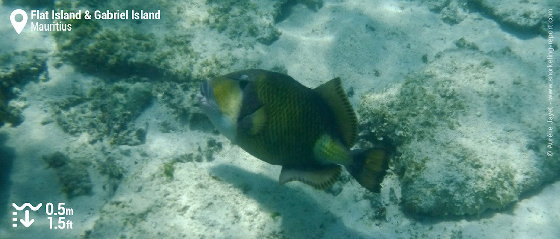 Titan triggerfish at Gabriel and Flat Islands
