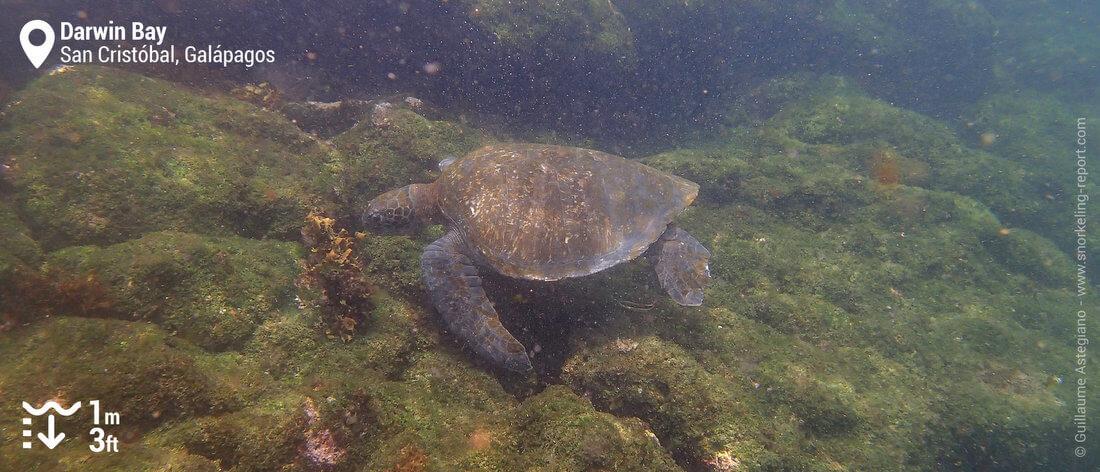 Tortue verte à Darwin Bay, San Cristobal