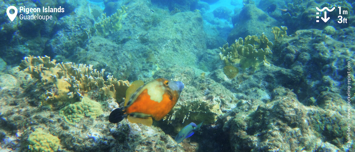 Whitespotted filefish at Pigeon Islands
