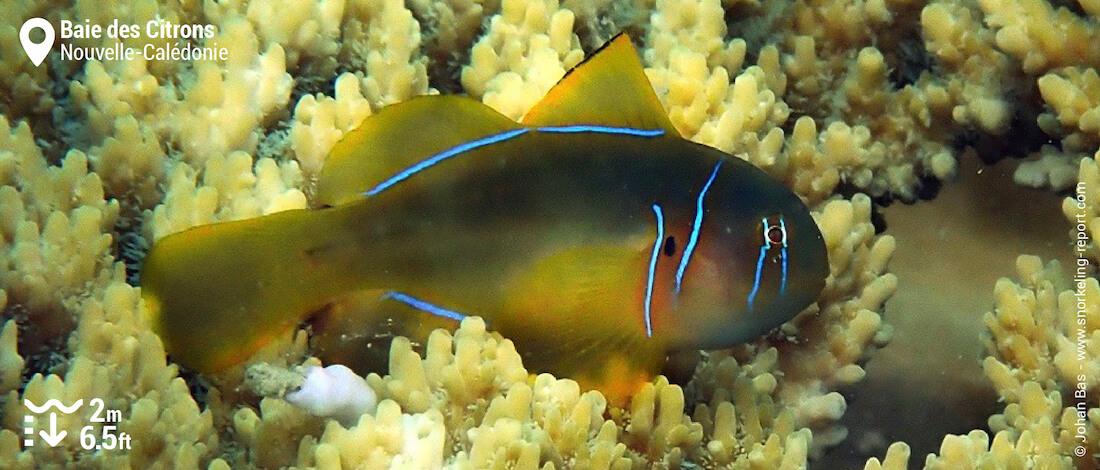 Gobie corail citron à la Baie des Citrons, Nouméa