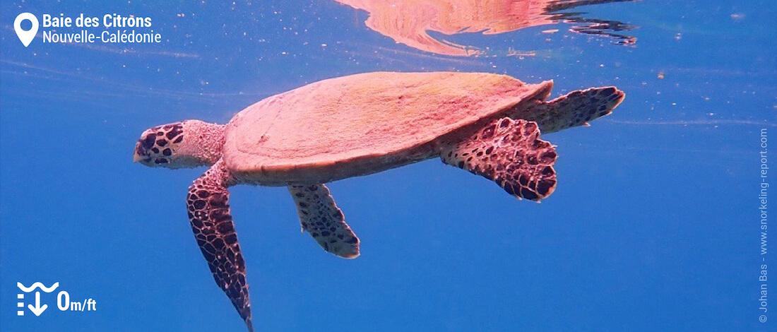 Snorkeling avec des tortues imbriquées à la Baie des Citrons