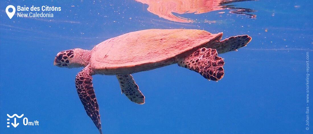 Hawksbill sea turtle in Lemons Bay, New Caledonia