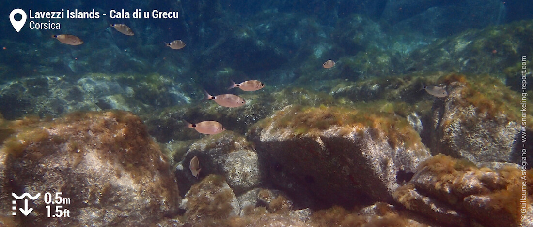 School of saddled seabream at Cala di u Grecu