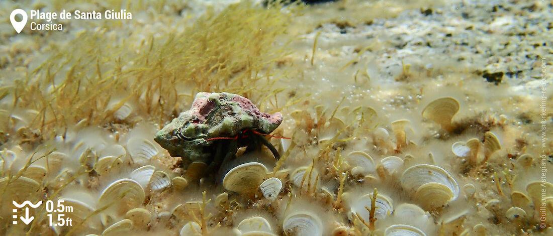 Hermit crab at Santa Giulia Beach, Corsica