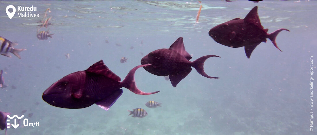 Black triggerfish in Kuredu