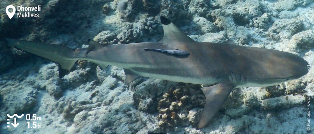 Blacktip reef shark snorkeling Dhonveli