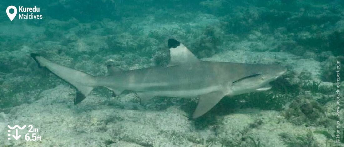 Snorkeling with blacktip reef shark in Kuredu