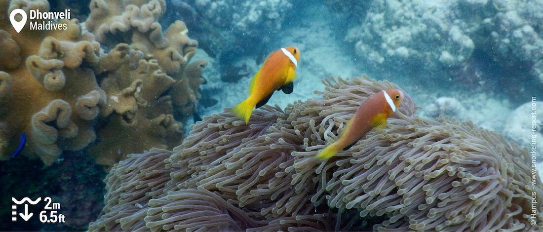 Maldive clownfish in Dhonveli