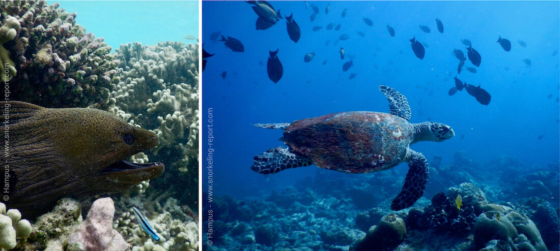 Snorkeling with turtle and moray eel at Male Atolls