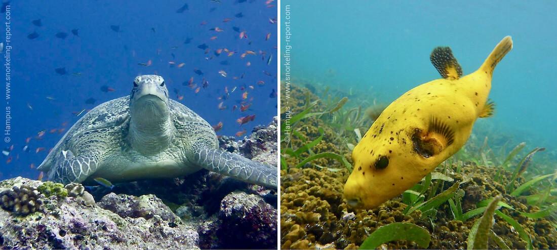 Green sea turtle and pufferfish in Kuredu