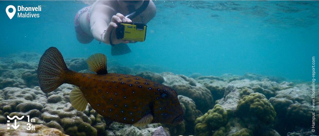 Un snorkeleur prend en photo un poisson-coffre à Dhonveli