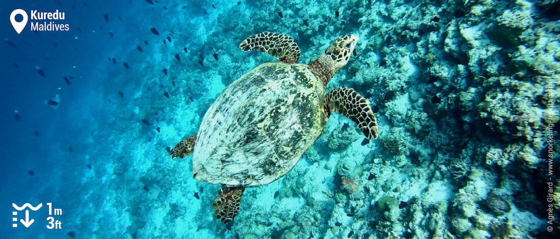 Hawksbill sea turtle on Kuredu s drop off