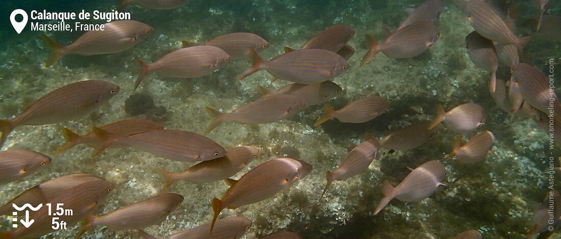 Banc de saupes de Méditerranée dans la calanque de Sugiton