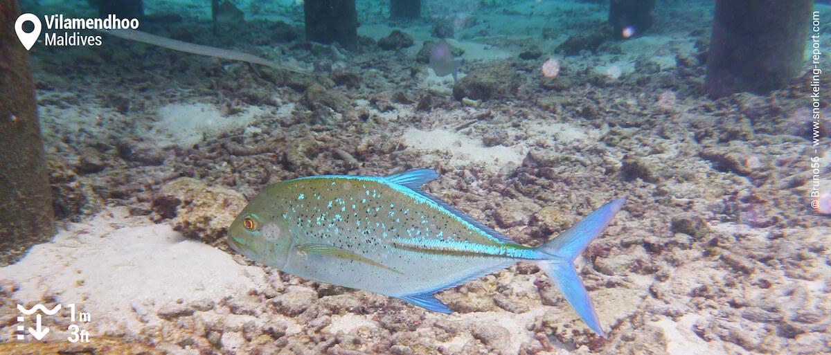 Bluefin trevally in Vilamendhoo