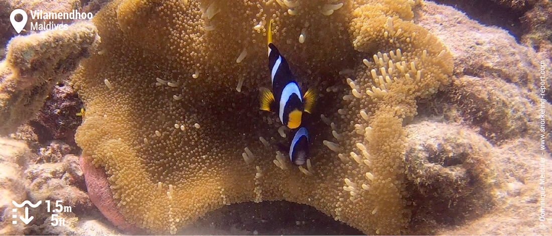 Clark anemone fish at Vilamendhoo's reef