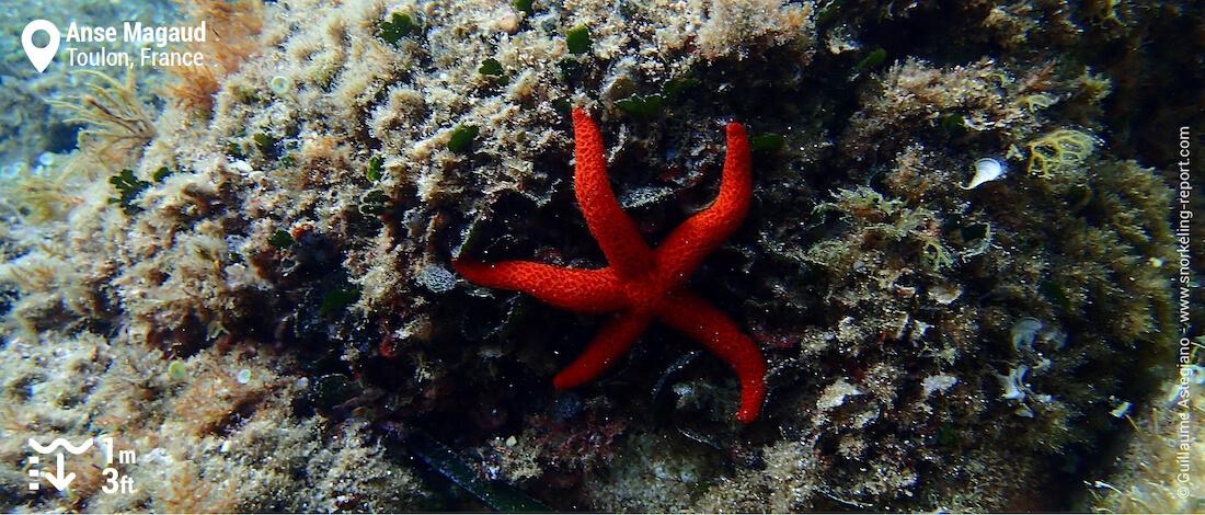 Red sea star at Anse Magaud, Toulon