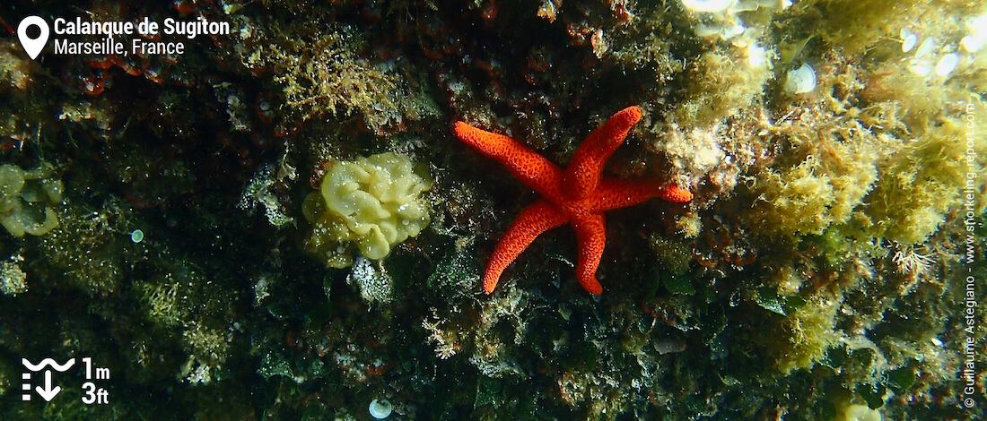 Etoile de mer rouge dans la calanque de Sugiton
