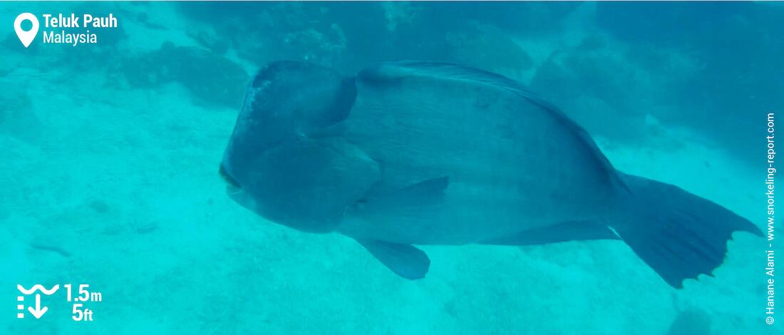 Green humphead parrotfish in Teluk Pauh, Perhentian Besar