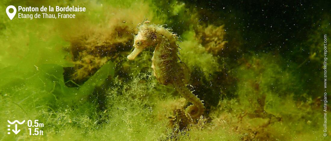 Hippocampe moucheté en snorkeling à l'Etang de Thau