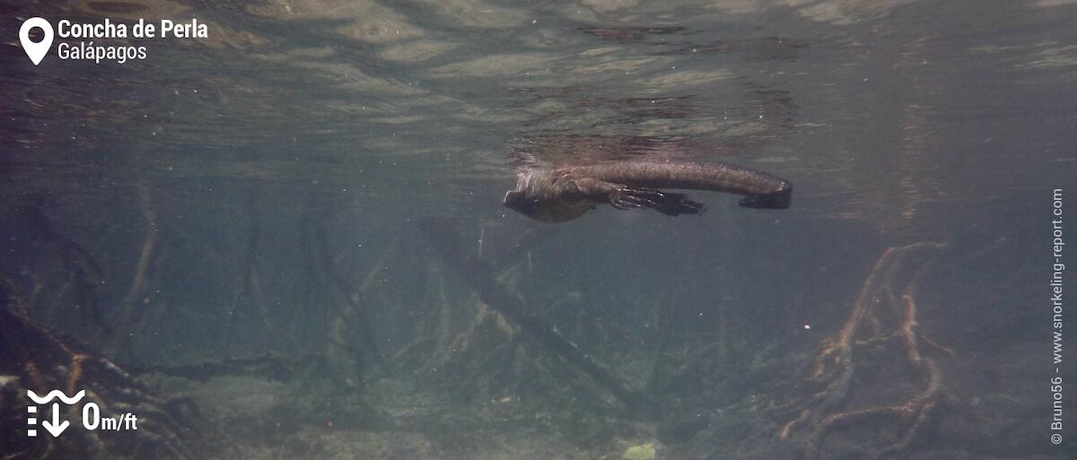 Marine iguana in Concha de Perla