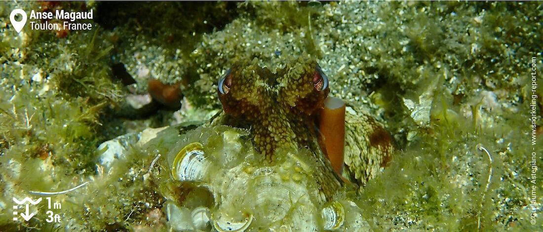 Common octopus at Anse Magaud