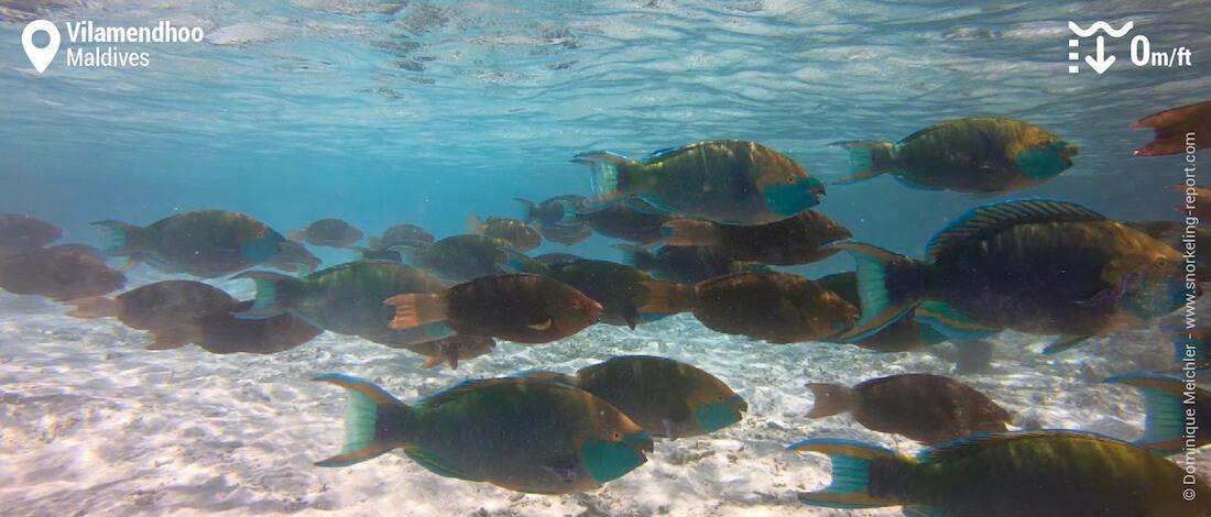 Banc de poissons-perroquets sur le platier de Vilamendhoo