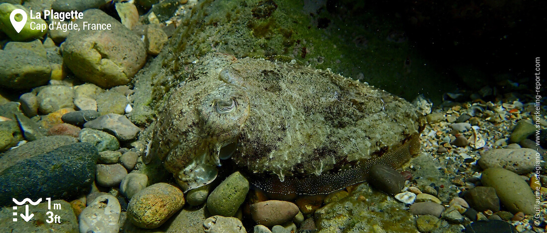 Cuttlefish at la Plagette, Cap d'Agde