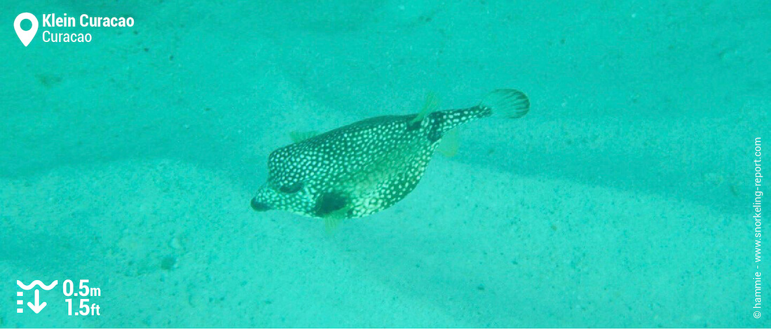 Smooth trunkfish at Klein Curacao
