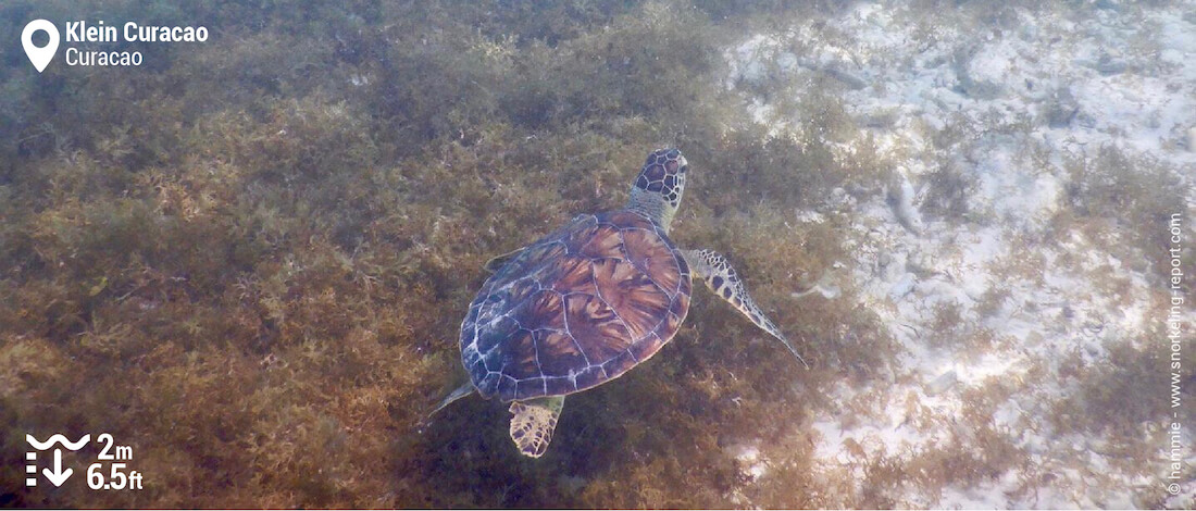 Snorkeling with green sea turtles in Klein Curacao