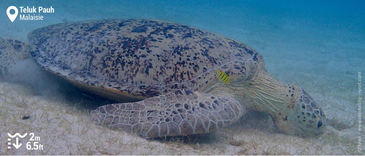 Tortue verte à Teluk Pauh, Îles Perhentian