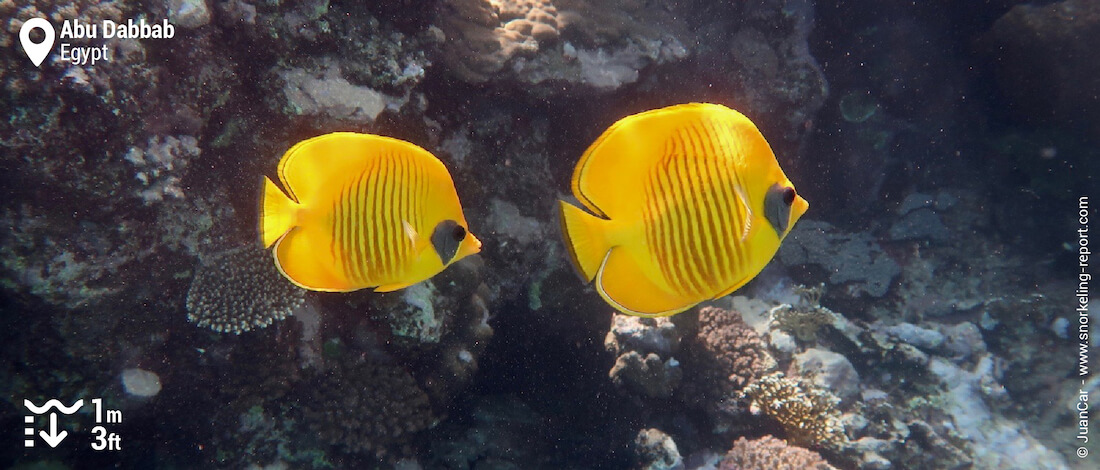 Blue cheek butterflyfish at Abu Dabbab