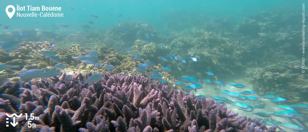 Groupe de chromis verts dans du corail branchu