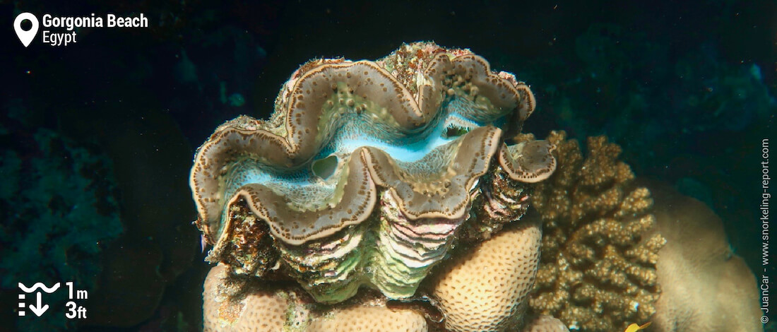 Giant clam on Gorgonia Beach Resort house reef