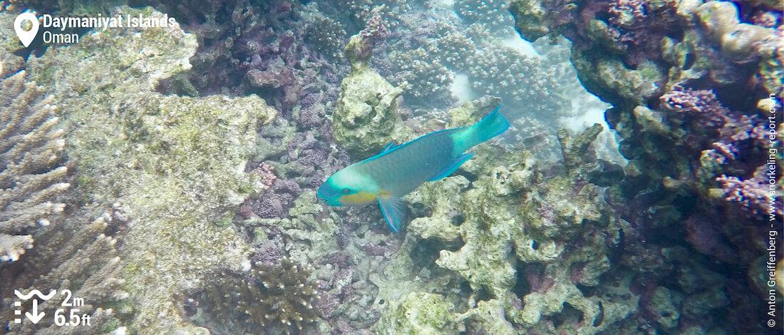 Poisson-perroquet vert aux îles Daymaniyat