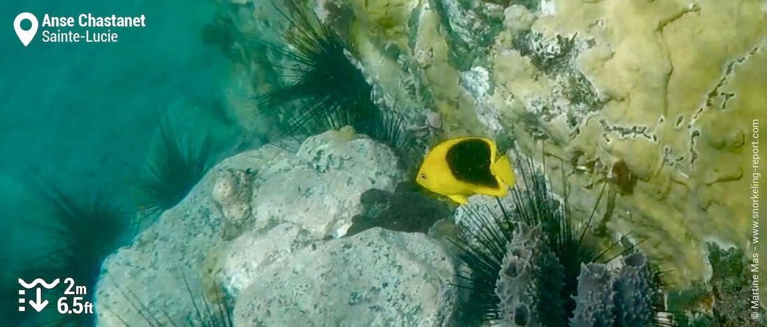 Poisson-ange noir et jaune à l'Anse Chastanet