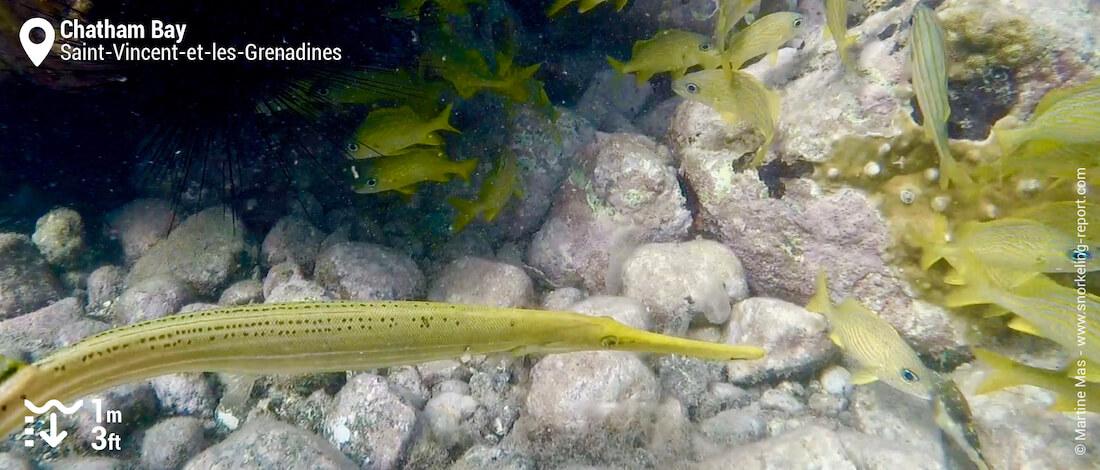 Poisson-flûte à Chatham Bay