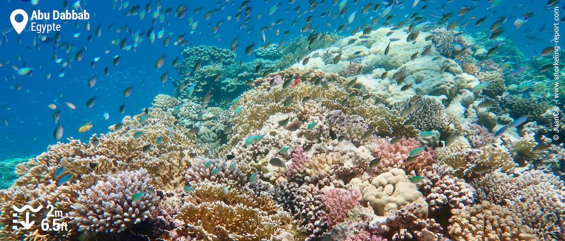 Récif corallien à Abu Dabbab