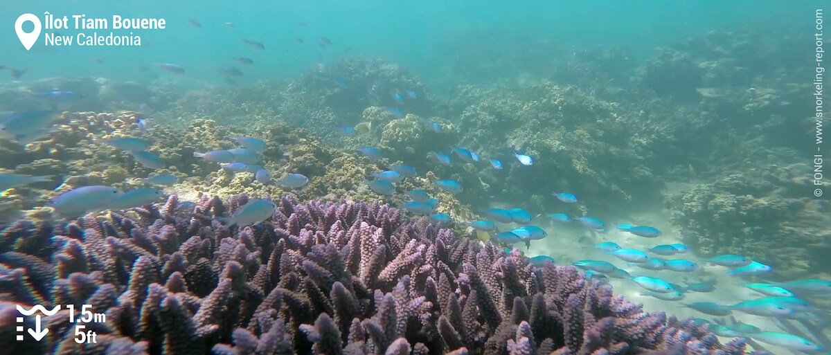 Green chromis in branching coral