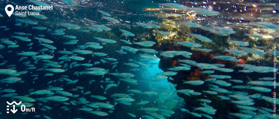 School of fish at Anse Chastenet