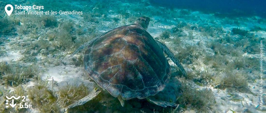 Snorkeling avec une tortue verte aux Tobago Cays