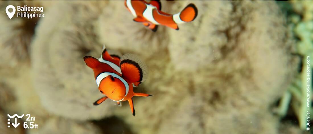 Nager avec des poissons-clowns à Balicasag