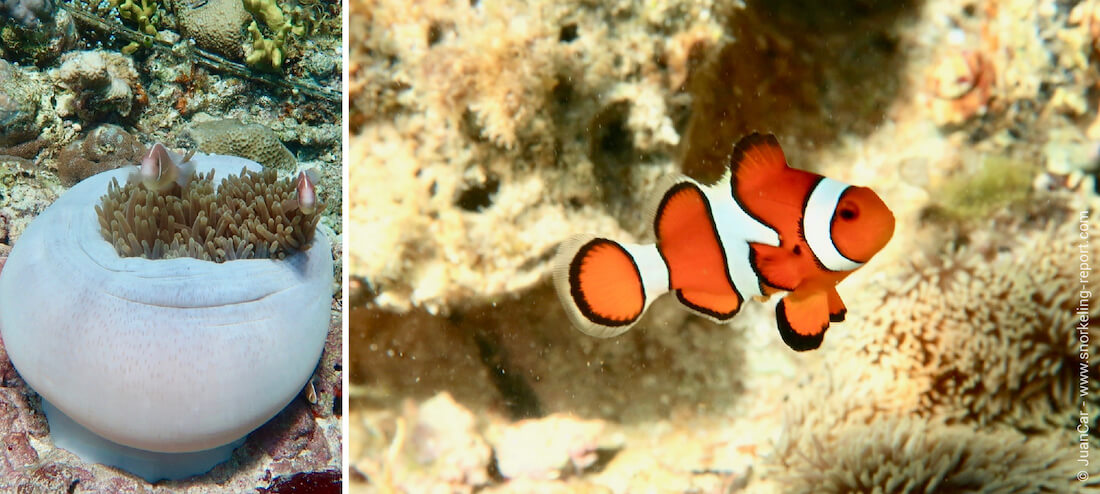 Snorkeling with clownfish in the Philippines