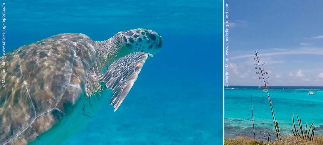Snorkeling avec des tortues vertes dans les Tobago Cays