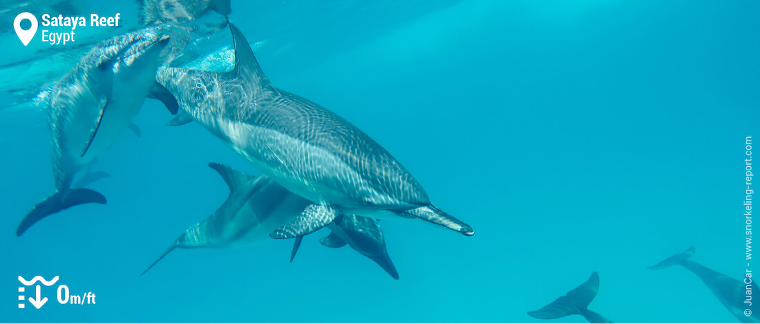 Swim with dolphins in the wild at Snorkeling with dolphins at Sataya Reef
