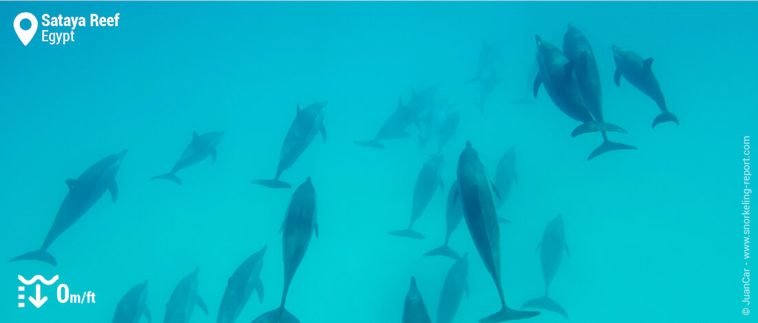 Snorkeling with dolphins at Sataya Reef