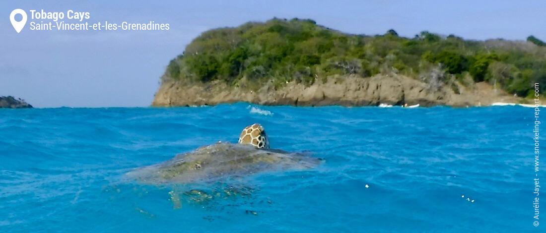 Snorkeling avec les tortues vertes des Tobago Cays